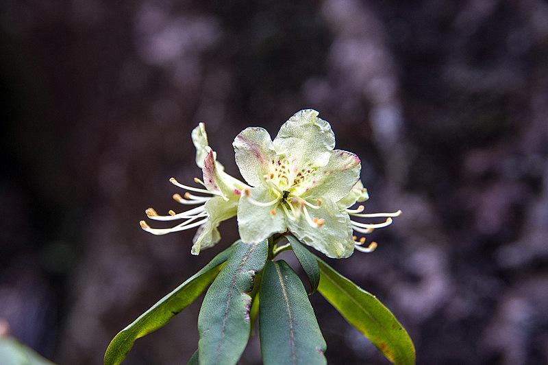 ヒカゲツツジ(日陰躑躅、学名:Rhododendron keiskei)