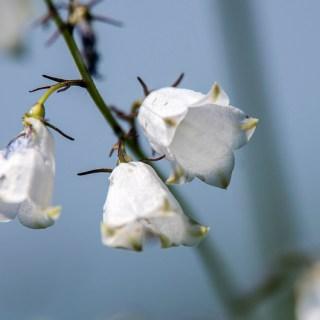 シロバナツリガネニンジン(白花釣鐘人参、学名:Adenophora triphylla var. japonica f. albiflora)