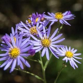シオン(紫苑、学名:Aster tataricus)