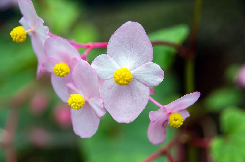 シュウカイドウ(秋海棠、学名:Begonia grandis)