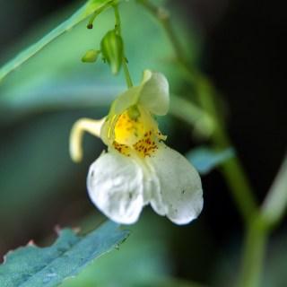 シロツリフネ(白釣船、白吊舟、学名:Impatiens textorii f. pallescens)