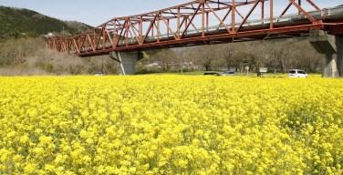 大洲市 肱川河川敷の菜の花