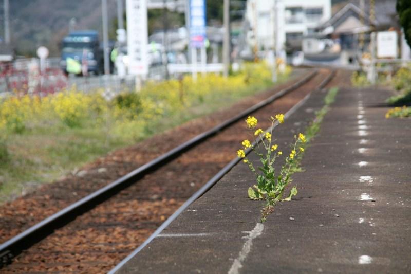 八多喜駅に咲く菜の花