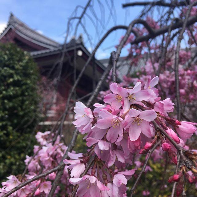 桜 Sakura #japan #tokyo #sakura #cherryblossom - from Instagram