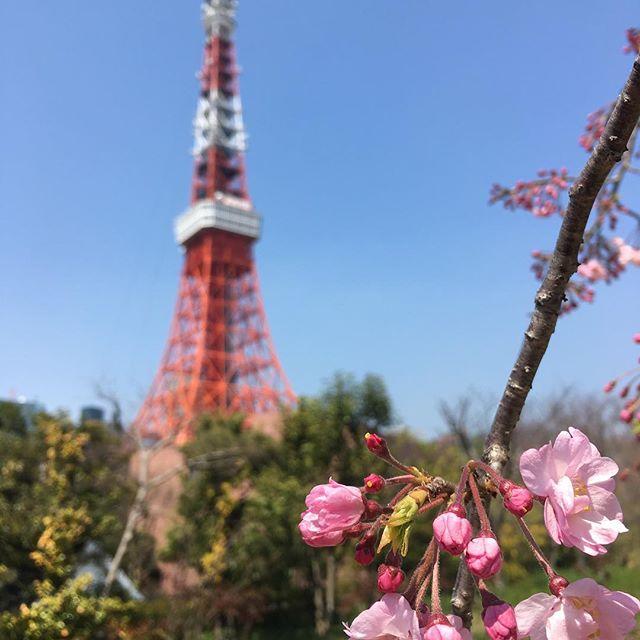 さくら Sakura#japan #tokyo #tokyotower #sakura #spring #cherryblossom - from Instagram
