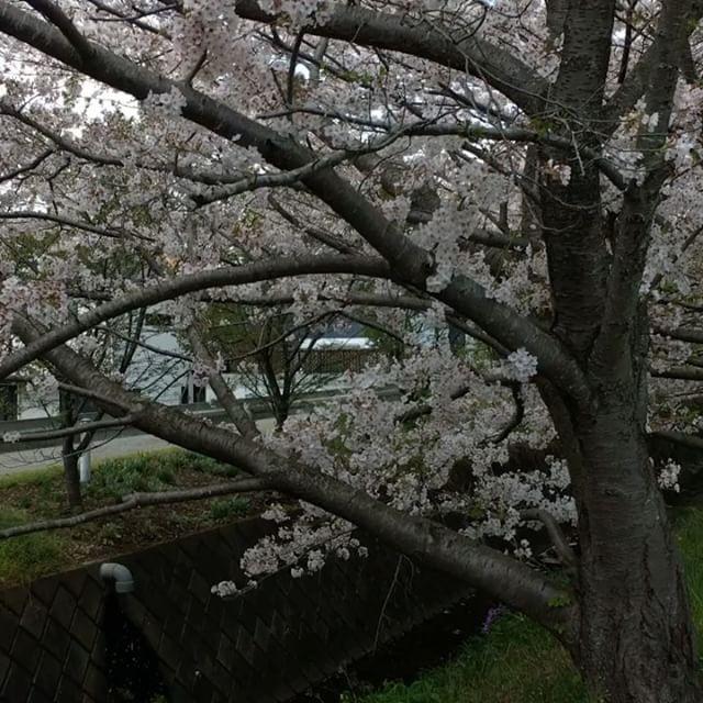 小田原 蘇我桜 Sakura of Soga in Odawara #japan #sakura #spring #odawara - from Instagram