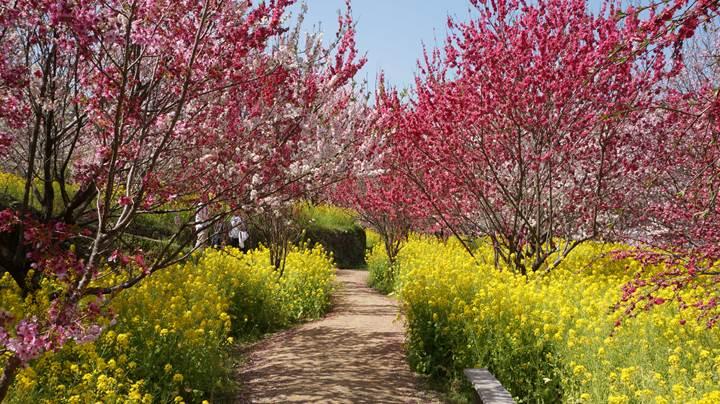 Nishigawa Flower Park in Konan City Kochi Prefecture 高知県香南市 西川花公園