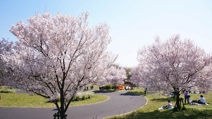 Toneri Park 舎人公園 桜