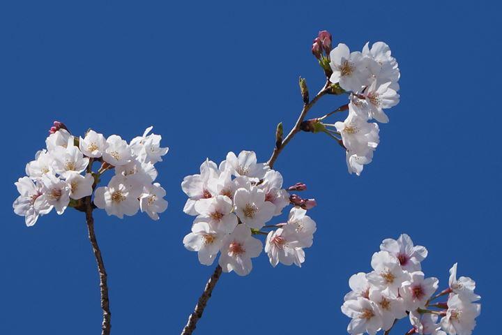 Cherry Blossoms in Asakusa Tokyo 東京 浅草 桜
