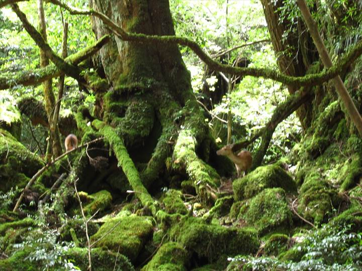 Yakushima83Yakushima Island National Park, World Natural Heritage in Japan 世界自然遺産 屋久島