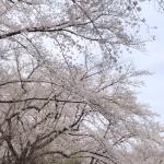東京工業大学 大岡山キャンパスの桜