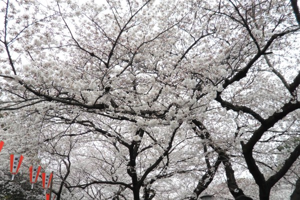 Quick Guide To Japan's 2013 Cherry Blossom Season