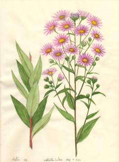 Asters-1100