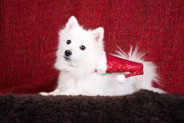 японский шпиц фото, новый год