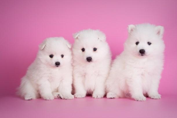 щенки японского шпица фото
