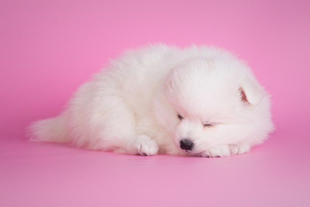 japanese spitz - sleeping beauty