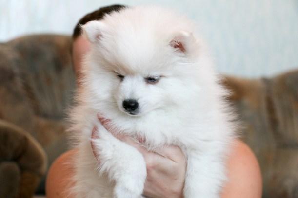 щенок японского шпица фото