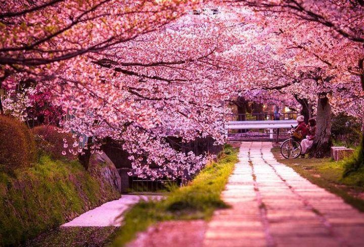 92 Gambar Wallpaper Pemandangan Bunga Sakura Terbaik