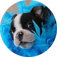 Donate picture of boston terrier puppy