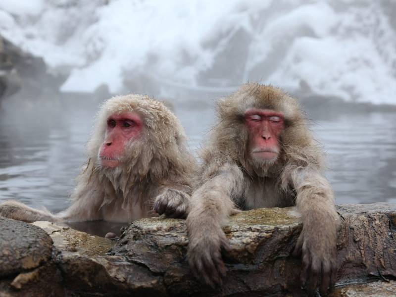 Japanese Macaque dead