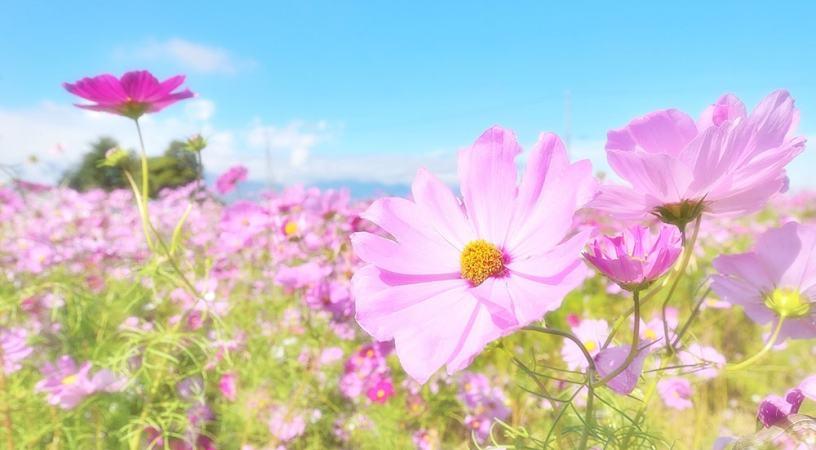 飯塚市の花 コスモス