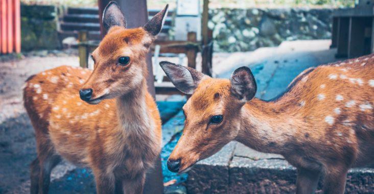 Two deer in Nara Park