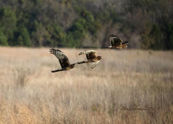 Three falcons.
