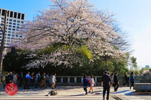 Truth of Japanese dirty reality under beautiful Sakura cherry blossom (11)
