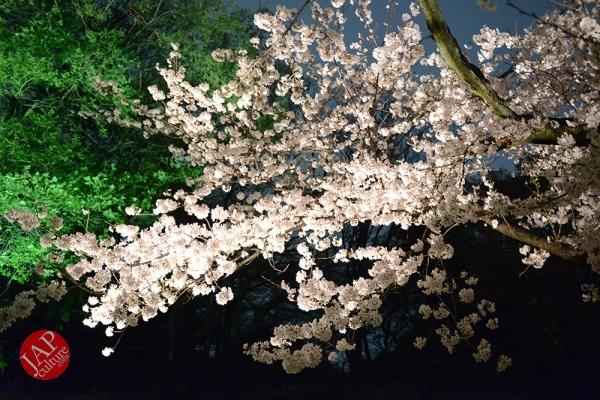 Weeping cherry tree (Shidarezakura) in Rikugien illumination attracts many people.0022