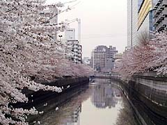 Day view of Meguro river cherry blossom