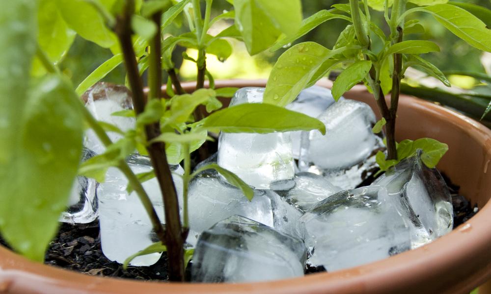 Moja babcia zawsze układała kostki lodu w doniczkach. To stary trik ogrodników