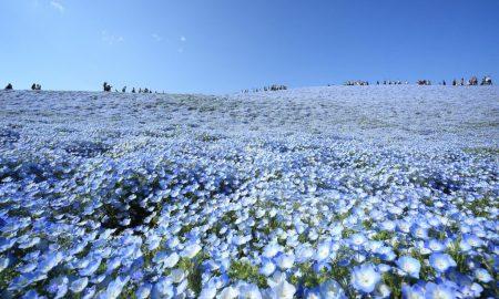 Japan's Blue Flowers