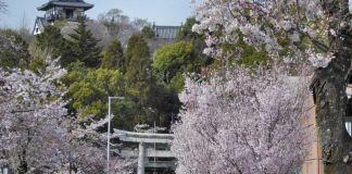 Castillo de Inuyama durante la floración de los cerezos (sakura) en Japón. Abril.