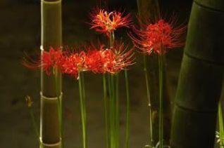 """Higanbana (彼岸花), adorno típico en Japón durante """"Shubun No Hi"""" (秋分の日) o Día del Equinoccio de otoño en Japón"""