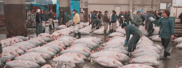 Subasta de atunes en la lonja de Tsukiji (Tokio)