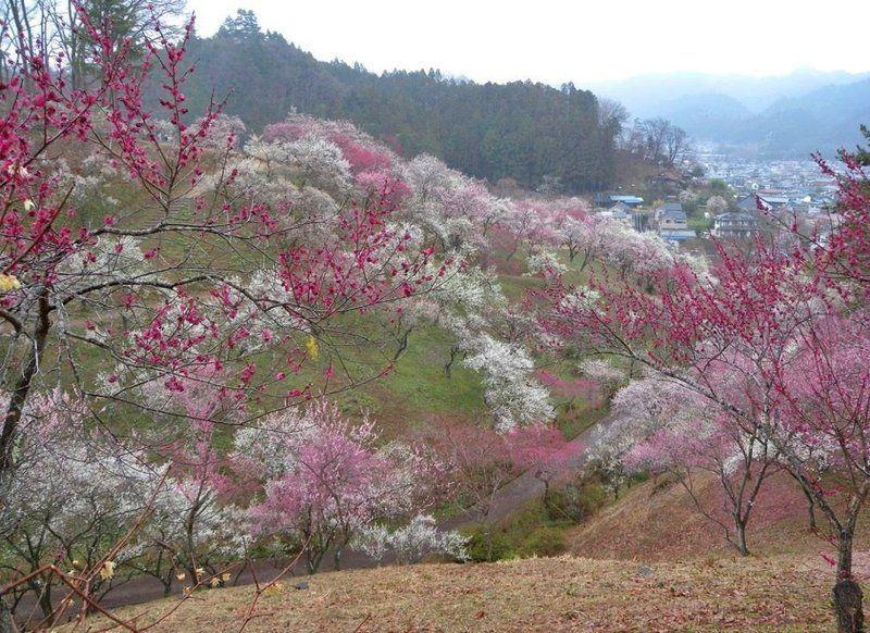 Festival de los Ciruelos de Yoshino Baigo (Ume Matsuri)