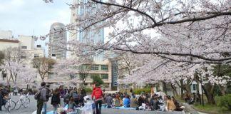Cerezos en flor (sakura) en Japón. Primavera. Cerezos en Tokio. Hanami en Shinjuku.