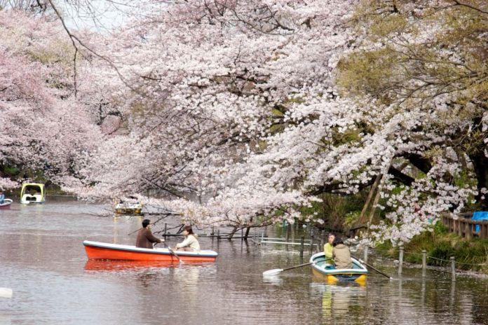 Inokashira. Ver flores de cerezo o sakura en Tokio. Primavera.