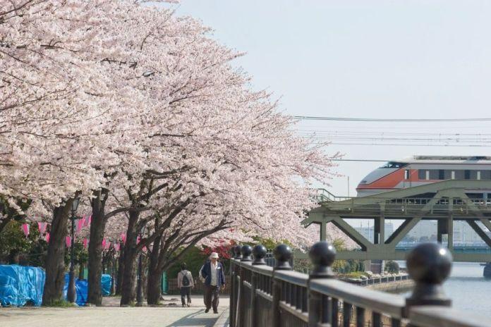 Parque Sumida. Hanami. Ver flores de cerezo o sakura en Tokio. Primavera.