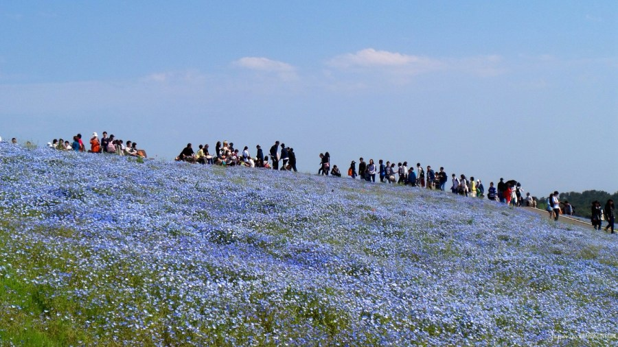 Hitachi Seaside Park (1)