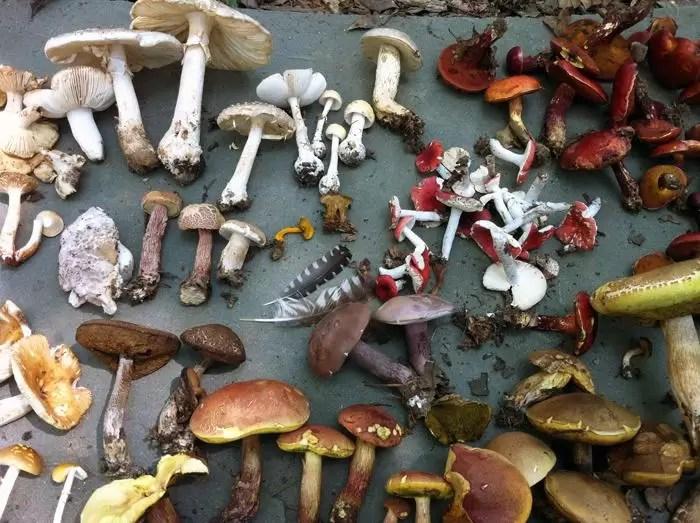 extração de pigmentos cogumelos