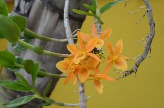 division d'orchidée sympodiale