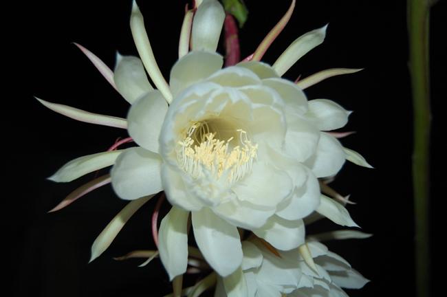 Selenicereus grandiflorus ou princesse de la nuit