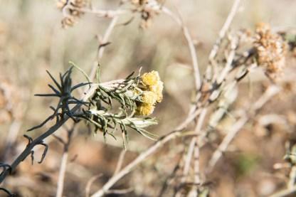 L'Immortelle (Helichrysum italicum) - Signe les douleurs inflammatoires