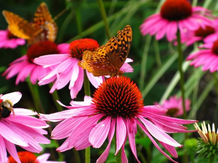 Échinacée (Echinacea purpurea)- L'alliée contre les infections