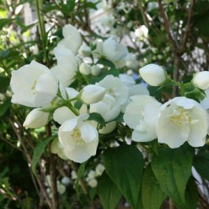 Jardin sensoriel : odorat