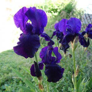 Jardin sensoriel : vue - la couleur des iris mêlé de parfum