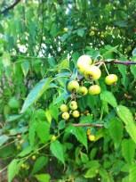 Pommes d'ornement