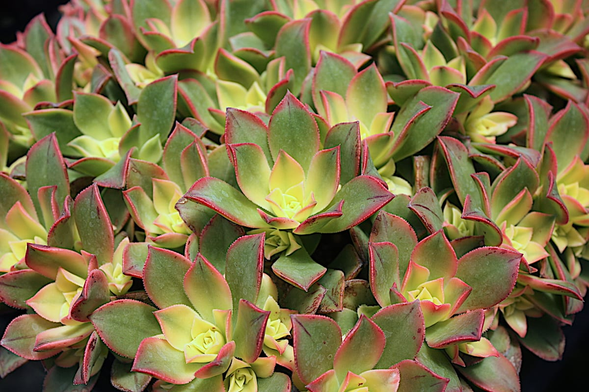 Aeonium dream color