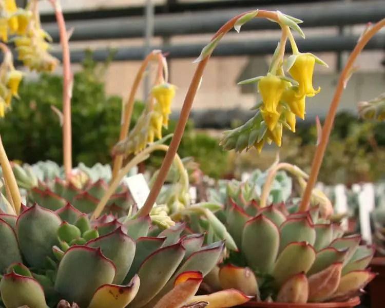 flores amarillas echeveria pulidonis